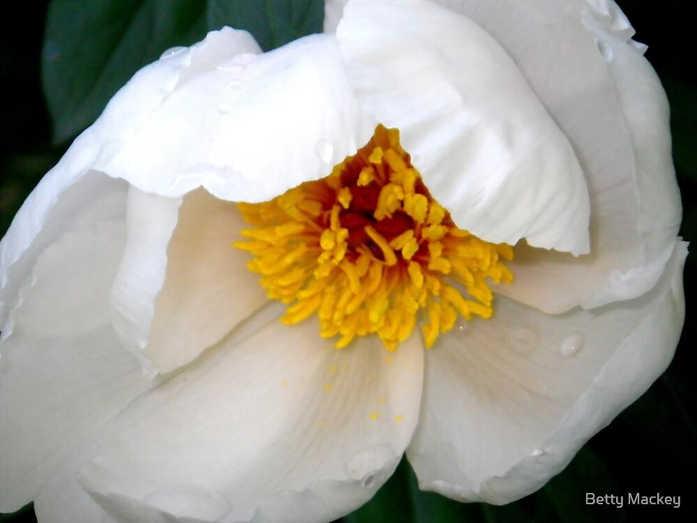 Tender New White Peony by Betty Mackey