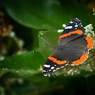 Red Admiral 2 by Colleen Drew