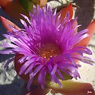 Ice Plant Flower by Edyta Magdalena Pelc