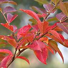 Autumn Crepe Myrtle by MissyD