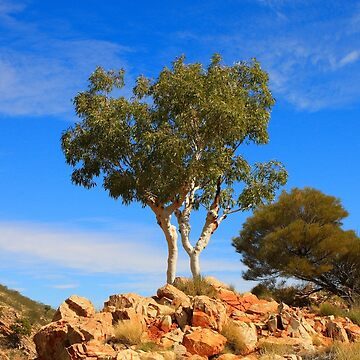 White gums, Outback Australia by FranWest