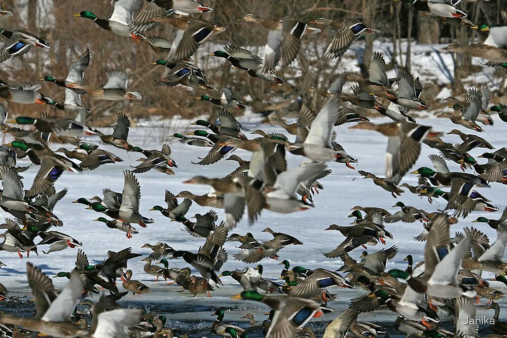 Ducks in Panic by Janika