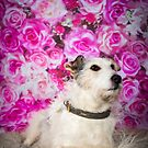 DAISY / Jack Russell by Peggy Colclough