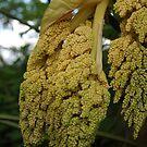 Chusan Palm Flowers by lezvee