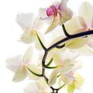 Orchid Spray by Ann Garrett