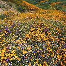 Its Wildflower Season In Southern California by photosbyflood