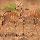 ANIMAL AFFECTION - NJALA – Tragelaphus angasii by Magriet Meintjes