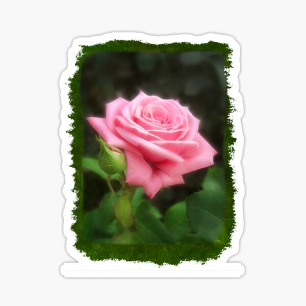 Pink Roses in Anzures 3 Blank P1F0 Sticker