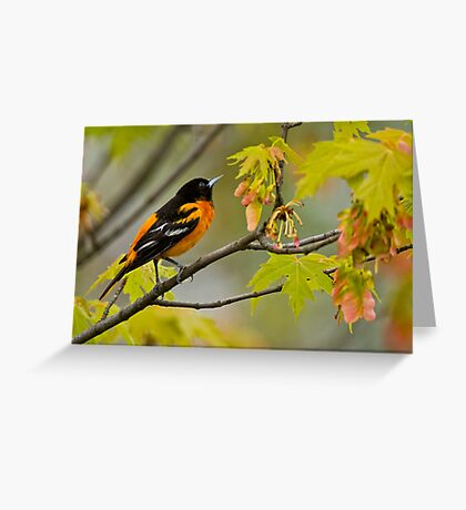 Northern Oriole looking for supper - Ottawa, Ontario Greeting Card