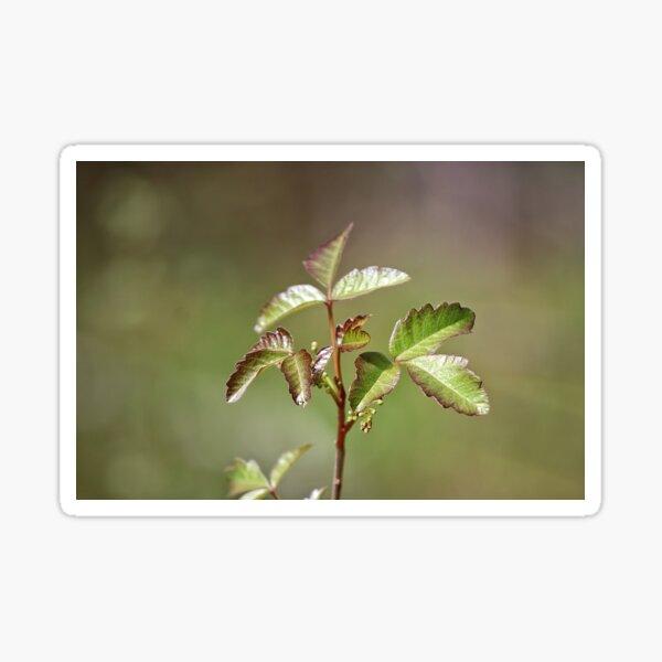 Poison Oak Sticker