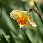 Daffy-down-dilly  by HelenBeresford