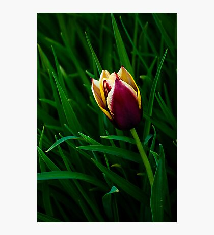 Tulip at Dusk Photographic Print