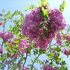 Acacia-Robinia viscosa Venten von Ana Belaj