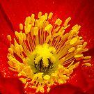 Orange poppy by Rémi Bridot
