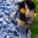 117 - A BEE ON OUR BLUE TOWEL (D.E. 2009) by BLYTHPHOTO