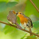 Robin Feeding by Sue Earnshaw