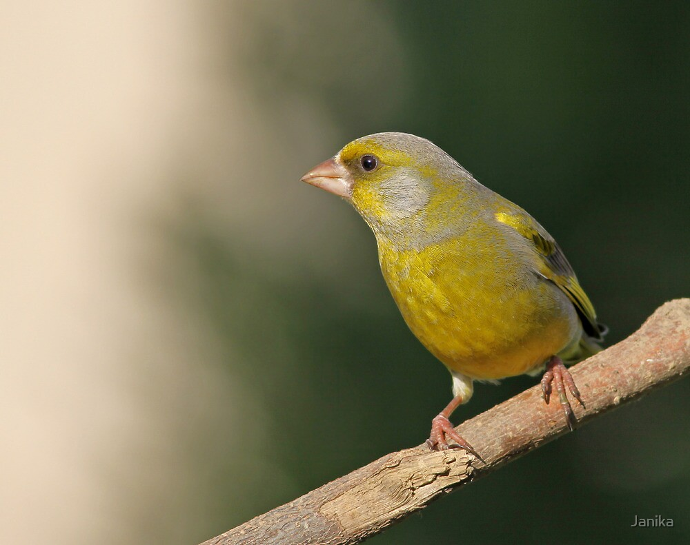 Green Finch on Alert by Janika