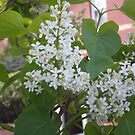 White Lilac stage 4 by Barry Norton