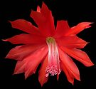 Red Cactus Flower by Carol Bleasdale