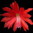 Red Cactus Flower by Carol Bleasdale