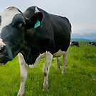 Curious Cow by Mandy Wiltse