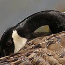 Canada goose, Mud Lake, Ottawa, Ontario by Tracey  Dryka