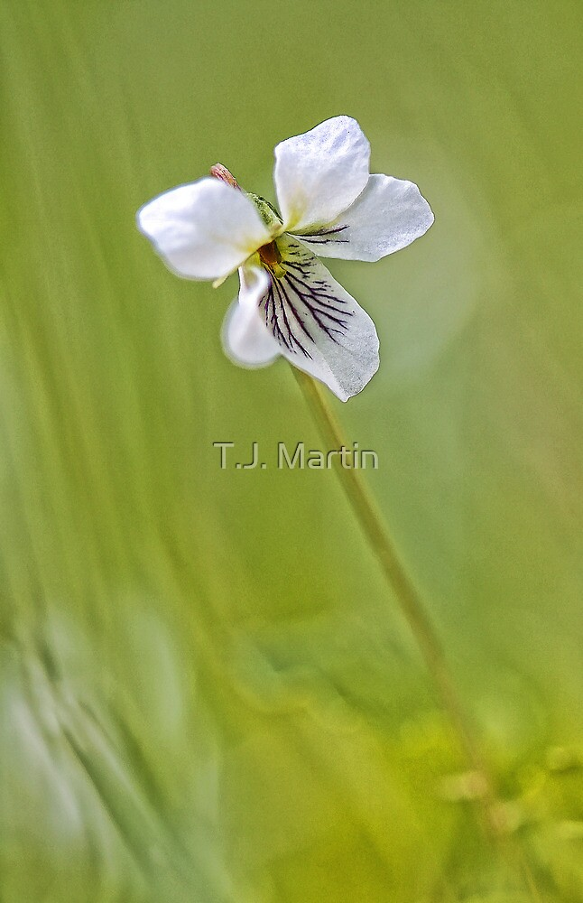 -Sweet White Violet- by T.J. Martin