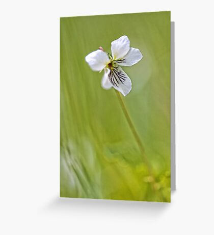 -Sweet White Violet- Greeting Card