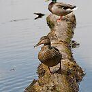Waterfowl, Mud Lake, Ottawa, Ontario by Tracey  Dryka