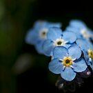 Little blue flowers by drackar