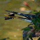 Great Blue Heron - Andrew Haydon Park, Ottawa, Ontario by Tracey  Dryka
