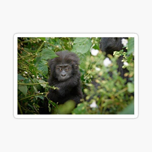 Gorilla beringei beringei Sticker