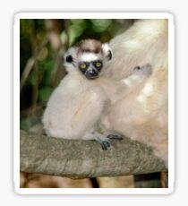 Baby sifaka Sticker