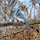 Bluejay - Shirley's Bay, Ottawa, ONT Canada by Tracey  Dryka