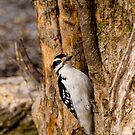 Hairy Woodpecker - Shirley's Bay by Tracey  Dryka
