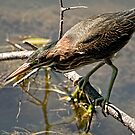Green Heron - Hartwell Locks, Ottawa, Ontario by Tracey  Dryka