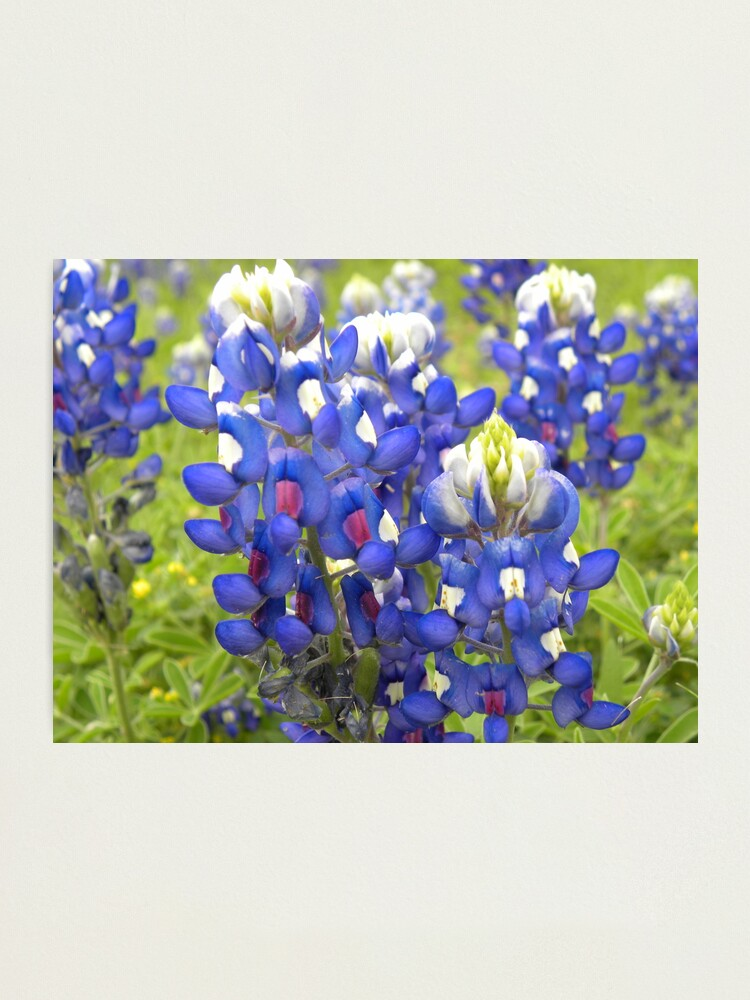 Texas State Flower Bluebonnet Photographic Print By