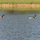 Geese on a Lake by DebbieCHayes