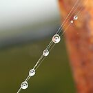 Water Droplets on a Spider Web by taylagrace