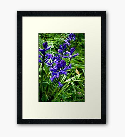 Bluebells #1 Framed Print