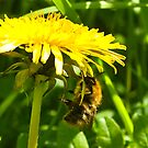Dandelion Bee  by Trevor Kersley