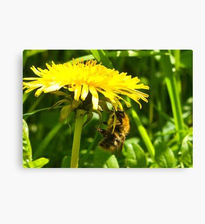 Dandelion Bee  Canvas Print