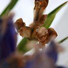Dying Iris! by JJFA