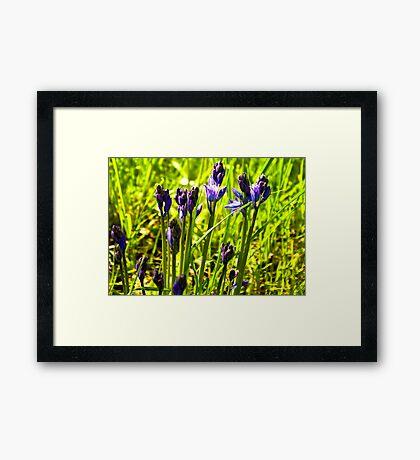 Bluebells Emerging  (late spring) Framed Print