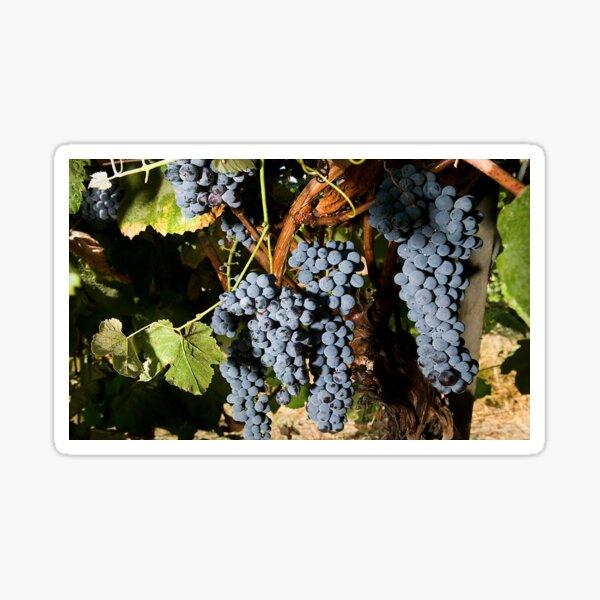 Grapes Vineyard  Sticker