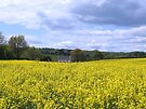 Rapeseed Field, Shropshire, England by hjaynefoster