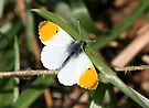 Orange Tip Butterfly by John Keates