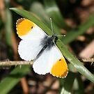 Orange Tip Butterfly by John Keates