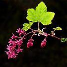 Spring Ribes by Sarah-fiona Helme