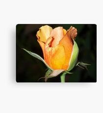 Peachy bud against black Canvas Print